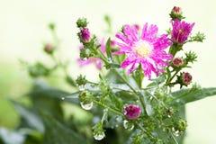 Unschärfehintergrund Blume der schönen Nahaufnahme purpurroter Stockfotos