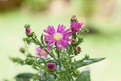 Unschärfehintergrund Blume der schönen Nahaufnahme purpurroter Lizenzfreie Stockbilder