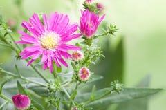 Unschärfehintergrund Blume der schönen Nahaufnahme purpurroter Stockbild
