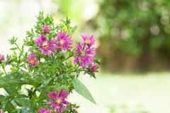 Unschärfehintergrund Blume der schönen Nahaufnahme purpurroter Stockbilder