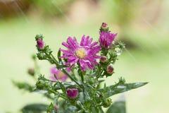 Unschärfehintergrund Blume der schönen Nahaufnahme purpurroter Stockfoto