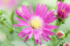 Unschärfehintergrund Blume der schönen Nahaufnahme purpurroter Stockfotografie