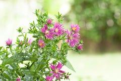 Unschärfehintergrund Blume der schönen Nahaufnahme purpurroter Lizenzfreies Stockbild