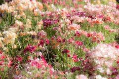 Unschärfehintergrund der rosa Blume Lizenzfreie Stockbilder