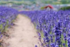 Unschärfehintergrund des Lavendelbauernhofes Stockfoto