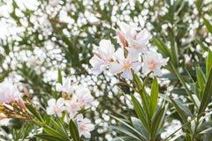 Unscharfe blühende Niederlassungen des Hintergrundes des weißen Oleanders Lizenzfreie Stockfotos