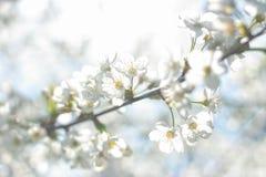 Unscharfe Blumen des Kirschbaums auf einem hellen Hintergrund Stockfotografie