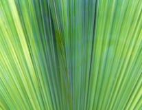 Unscharfe Palmblattbeschaffenheit als natürlicher Hintergrund Stockfotografie