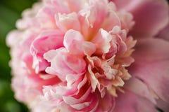 Unscharfe rosa Pfingstrosenblumenblätter nah im weichen Licht Blühendes Pfingstrosenmakro für Drucke, Plakate, Entwurf, Abdeckung lizenzfreie stockbilder