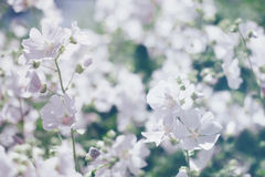 Unscharfer Blumenhintergrund, entspringen weiße Blumen Stockfotografie