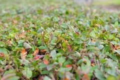Unscharfer grüner Busch oder Wand von Sträuchen und von Frühlingszeit stockbild