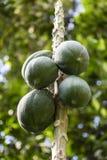 Unscharfer grüner Hintergrund mit Beeren und Früchten des Regenwaldes, Dschungel von der Amazonas-Becken in Südamerika lizenzfreie stockfotos