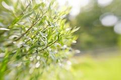 Unscharfer grüner Hintergrund mit Niederlassungen der Weide Lizenzfreie Stockbilder