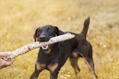 Unscharfer Herbsthintergrund mit einem Hund, der einen Stock hält Stockfotografie