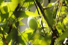 Unscharfer Hintergrund des Efeukürbisses Grün lizenzfreie stockfotos