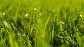 Unscharfer Hintergrund des Grases auf einer Sonnenunterganghintergrundnahaufnahme nave Das Konzept der Umwelt stock footage