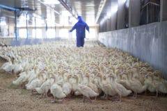 Unscharfer Hintergrund von Enten im Bauernhof lizenzfreies stockfoto