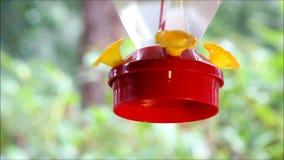 Unscharfer Kolibri, der im Regen trinkt stock footage
