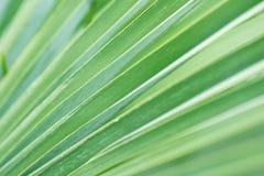Unscharfes abstraktes botanisches Hintergrund-Palme-gestreiftes Blatt mit geometrischem Muster Natürliches weiches Grün färben Hi Lizenzfreies Stockbild