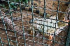 Unscharfes Bild des grünen Leguans im Käfig (Leguanleguan) Lizenzfreies Stockfoto