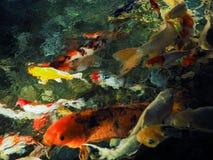 Unscharfes Bild von bunten Karpfenfischen im Teich stockfotos