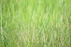 Unscharfes grünes Gras für Hintergrunddesign stockfotos