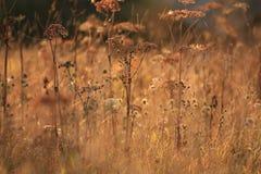 Unscharfes orange Herbstfeld mit wildem Gras Stockfotos