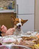 Unscheduled lunch for spoilt dog Royalty Free Stock Photo