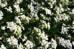 Unschuldige Blumen Stockbilder