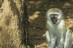 Unschuldiger Baby vervet Affe, der eine Anlage isst Lizenzfreies Stockfoto