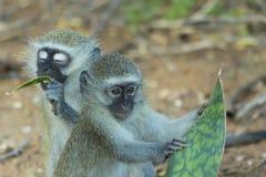 Unschuldiger Baby vervet Affe, der eine Anlage isst Stockfotos