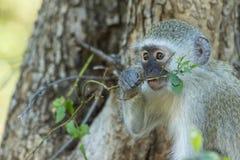 Unschuldiger Baby vervet Affe, der eine Anlage isst Lizenzfreie Stockbilder