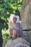 Unscrupulous monkey Stock Photography