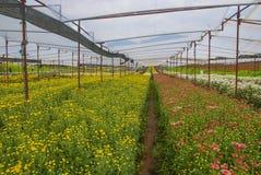 Unseen chrysant van Thailand van lopburi Stock Foto