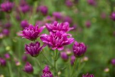 Unseen chrysant van Thailand van lopburi Royalty-vrije Stock Foto