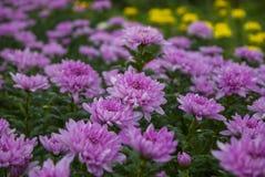 Unseen chrysant van Thailand van lopburi Stock Fotografie