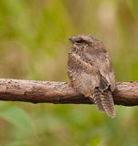 The unseen Ladder-tailed Nightjar stock photos