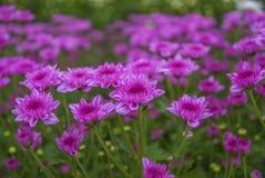 Unseen Thailand chrysanthemum of lopburi. Province Stock Photo