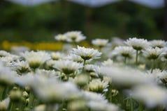 Unseen Thailand chrysanthemum of lopburi. Province Stock Photography