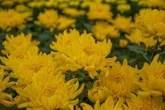 Unseen Thailand chrysanthemum of lopburi. Province Stock Photos