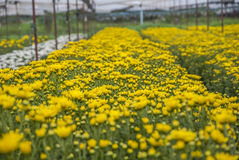 Unseen Thailand chrysanthemum of lopburi. Province Royalty Free Stock Photography