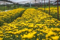Unseen Thailand chrysanthemum of lopburi. Province Royalty Free Stock Photos