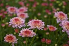 Unseen Thailand chrysanthemum of lopburi. Province Royalty Free Stock Image