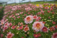 Unseen Thailand chrysanthemum of lopburi. Province Stock Image