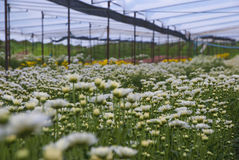 Unseen Thailand chrysanthemum of lopburi. Province Stock Images
