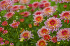 Unseen Thailand chrysanthemum of lopburi. Province Royalty Free Stock Images