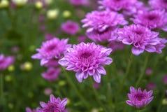 Unseen Thailand chrysanthemum of lopburi. Province Royalty Free Stock Photo