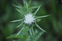 Unseen White Milk Thistle, Spring Blossom Highly Protected royalty free stock photos