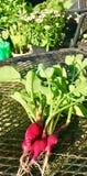 Unsere erste Ernte! Rettiche jedermann??? Stockfoto