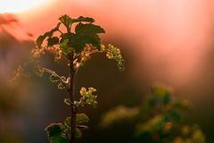 Unset coral tone in my garden. Black currant branch with flower, sunset coral tone in my garden, blurred background, sharpness of one leaf and flower royalty free stock photos